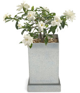 Potting Shed Creations Gardenia Bonsai Specimen Bonsai Box